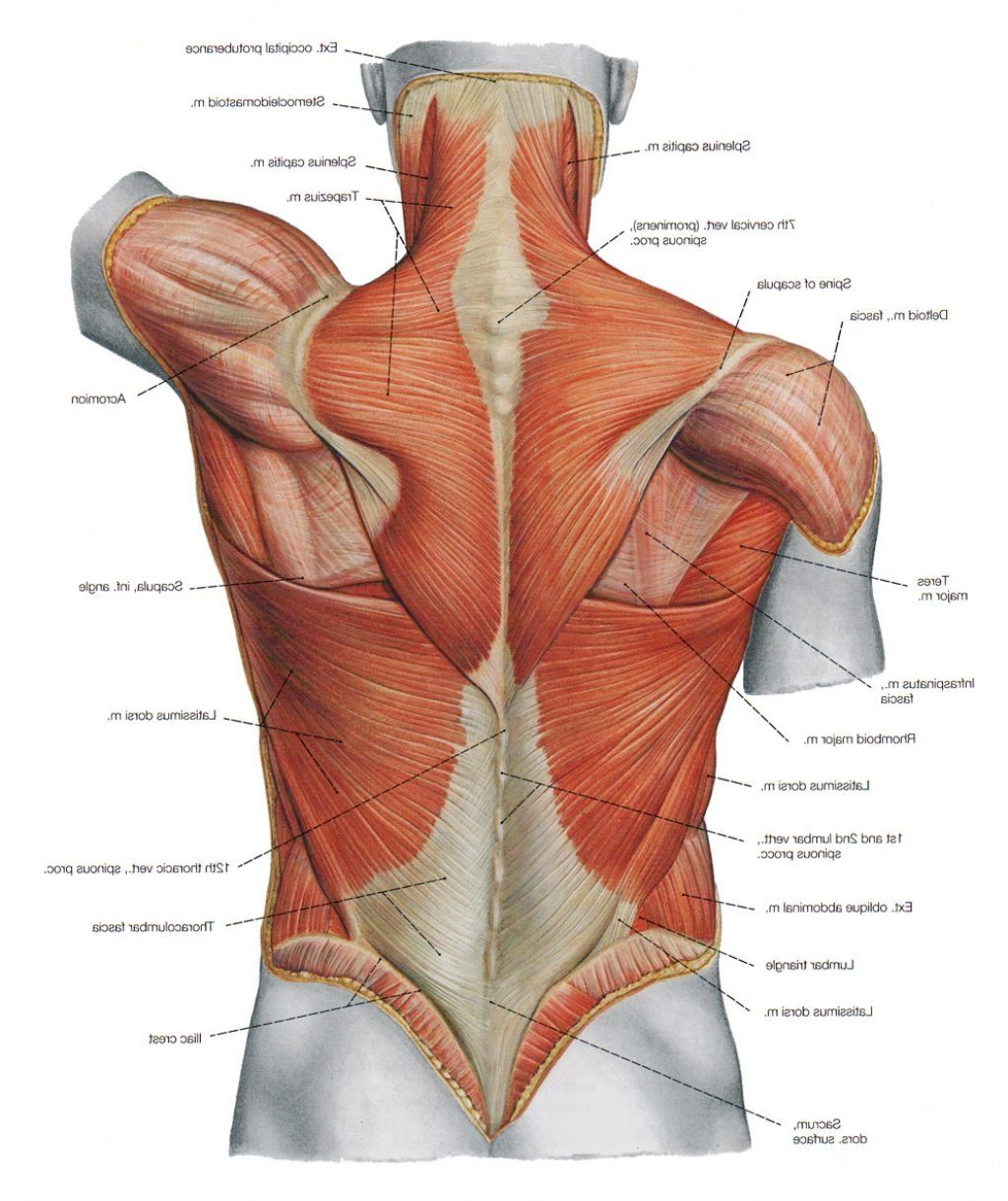 Diagram Back Muscles Upper Back Human Anatomy Diagram – Anatomy