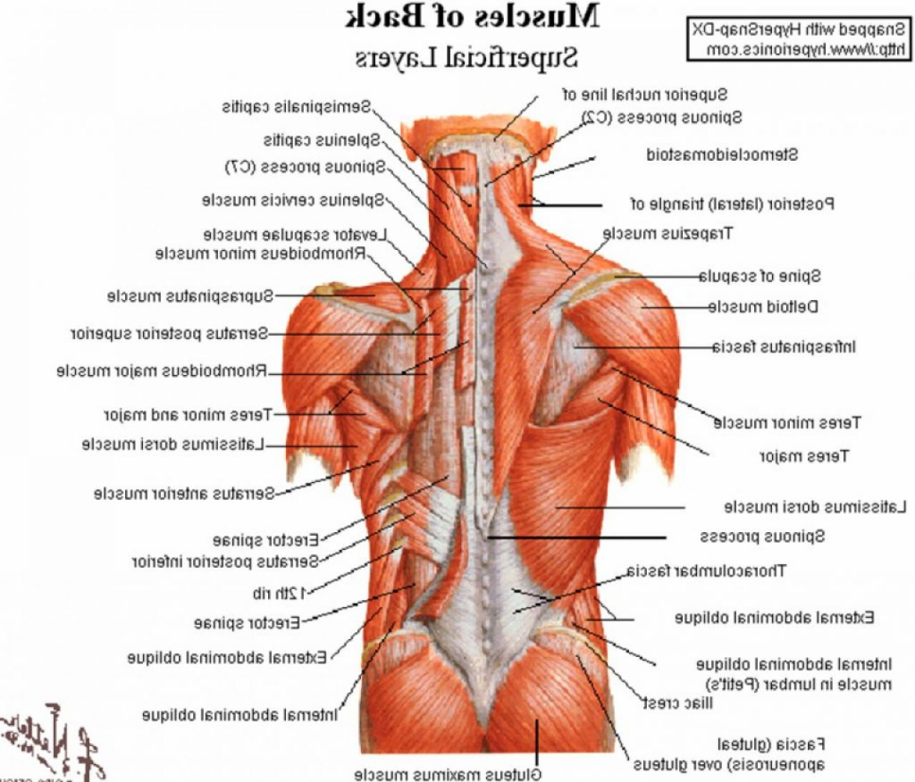Lower Back Muscle Anatomy Diagram Archives On Muscles Lower Back