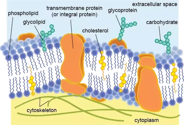 Is plasma membrane the same as phospholipid bilayer? Quora