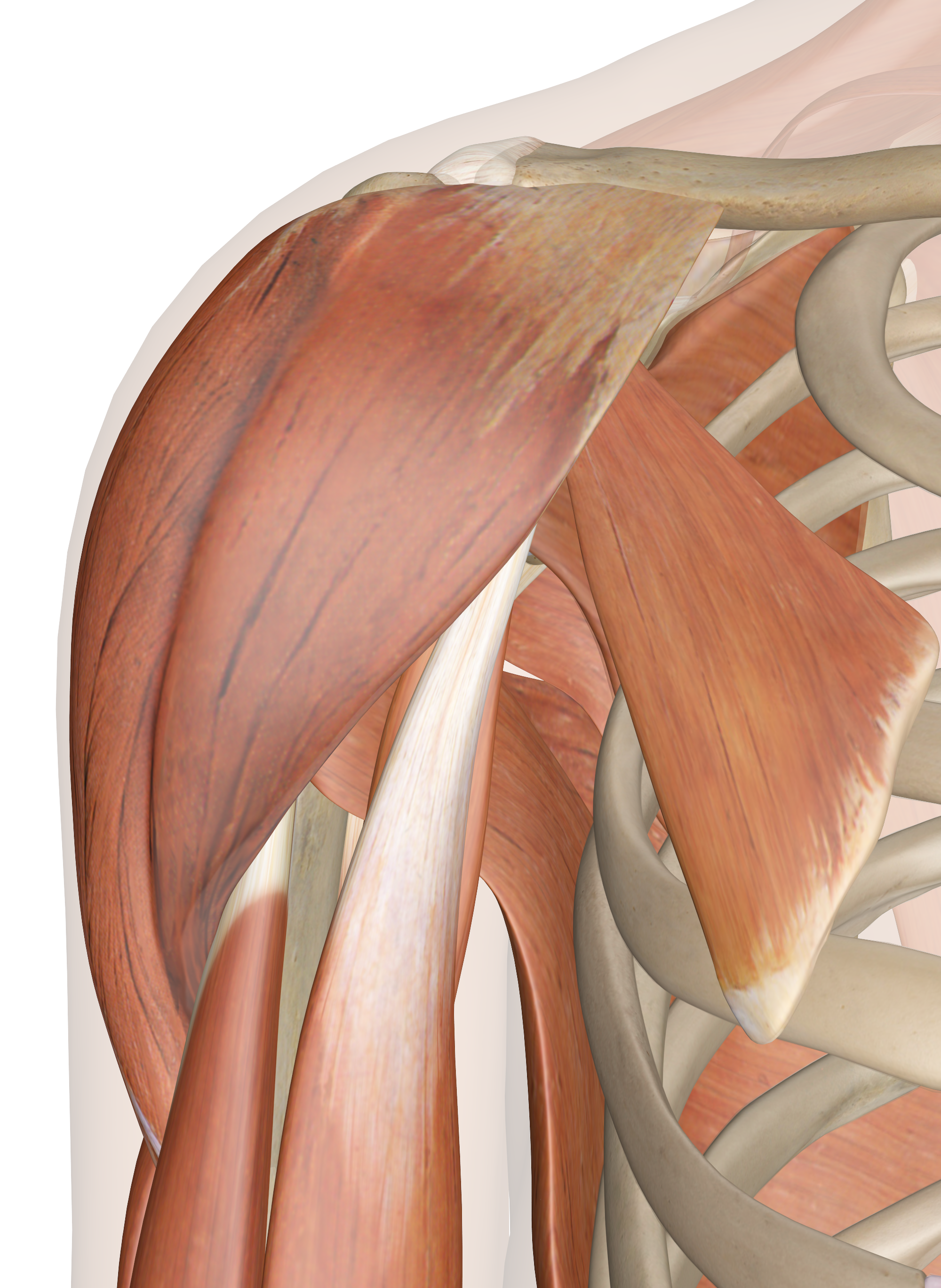 Muscles of the Shoulder Anatomy Pictures and Information