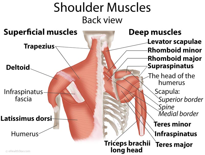 Shoulder anatomy pictures shoulder muscles anatomy actions diagram