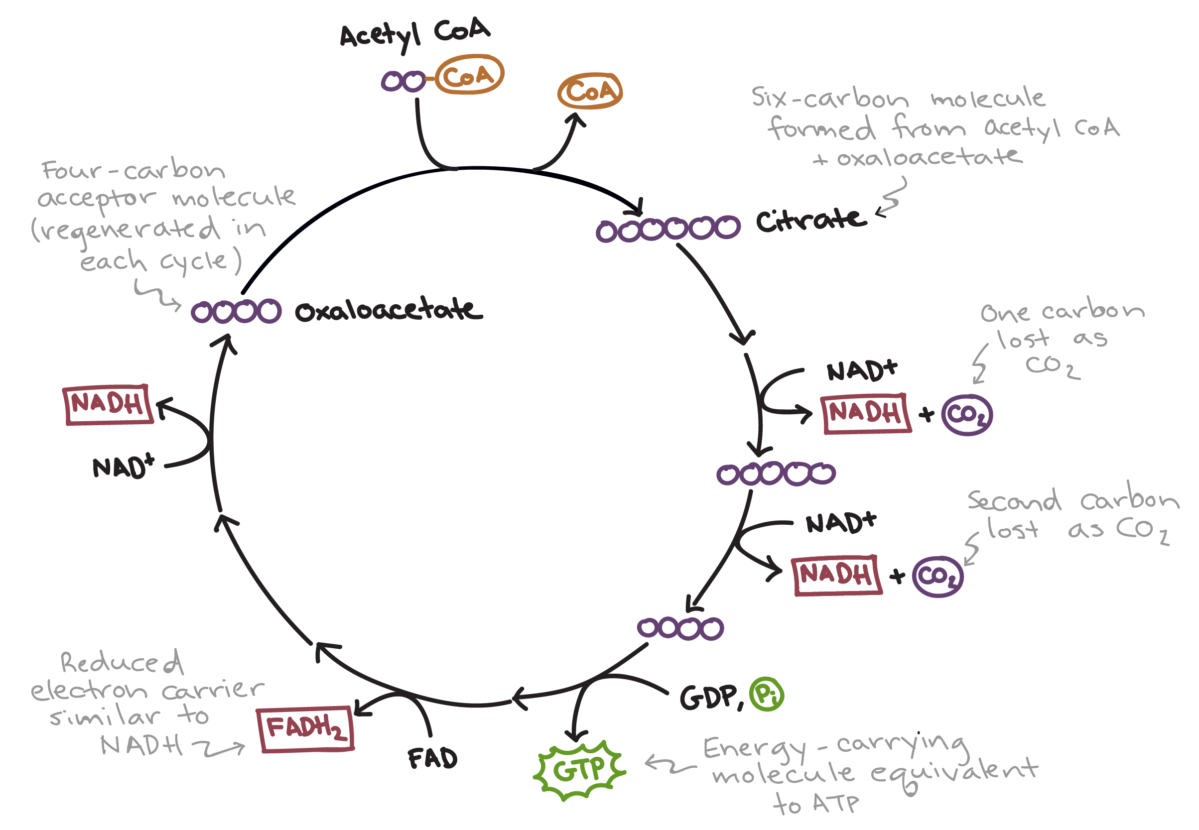 The citric acid cycle | Cellular respiration (article) | Khan Academy