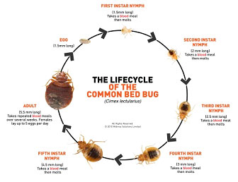 Bed Bug Life Cycle City of Sioux Falls