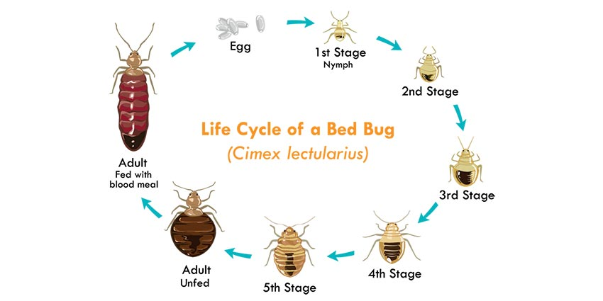 The Life Cycle of Bed Bugs Allergy & Air