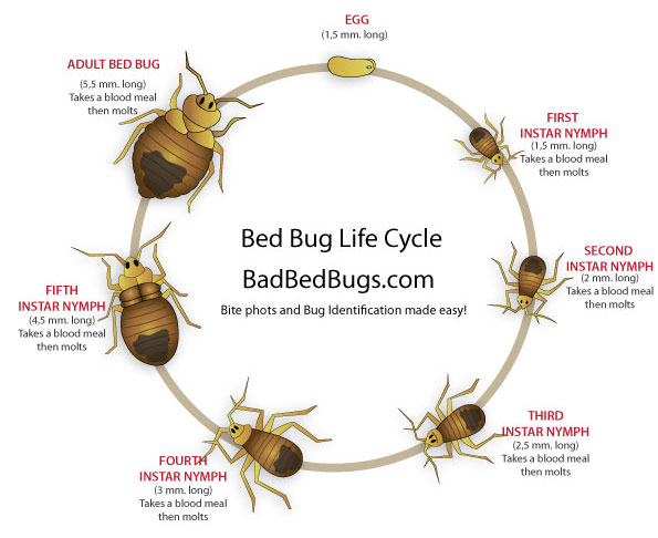 Bed Bug Life Cycle: Easy to understand growth chart