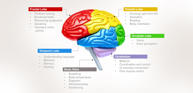 Brain And Functions Human Brain Functions Functioning Of Human
