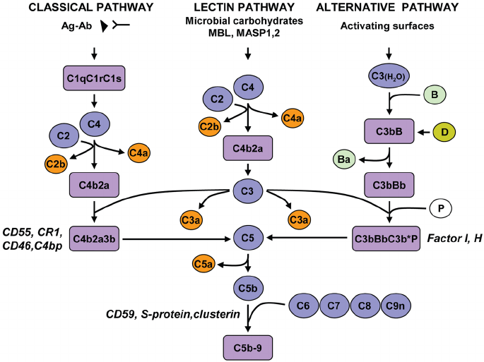 Complement activation pathways and assembly of the terminal