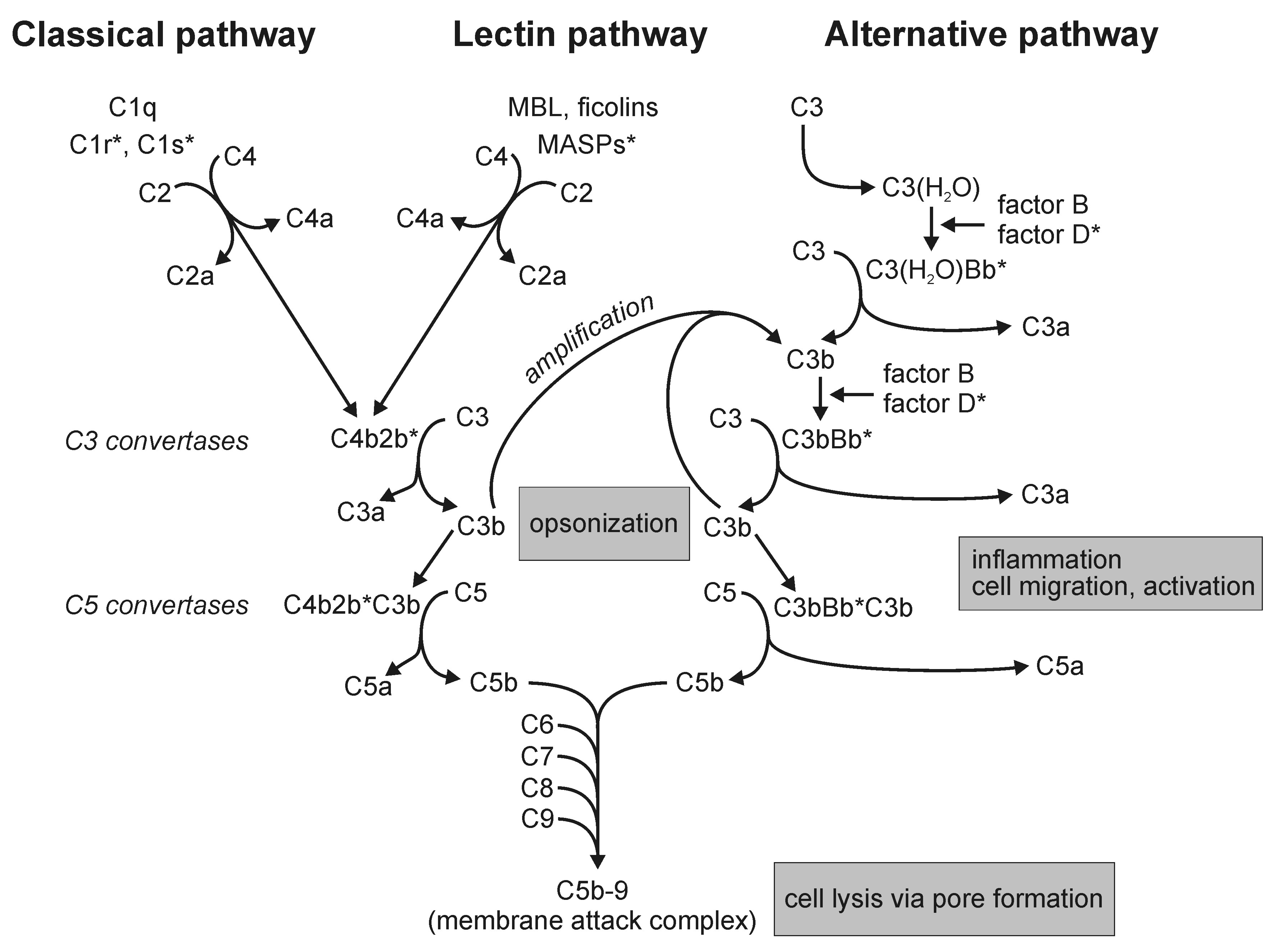 Complement Pathways: Types, Functions and Regulation