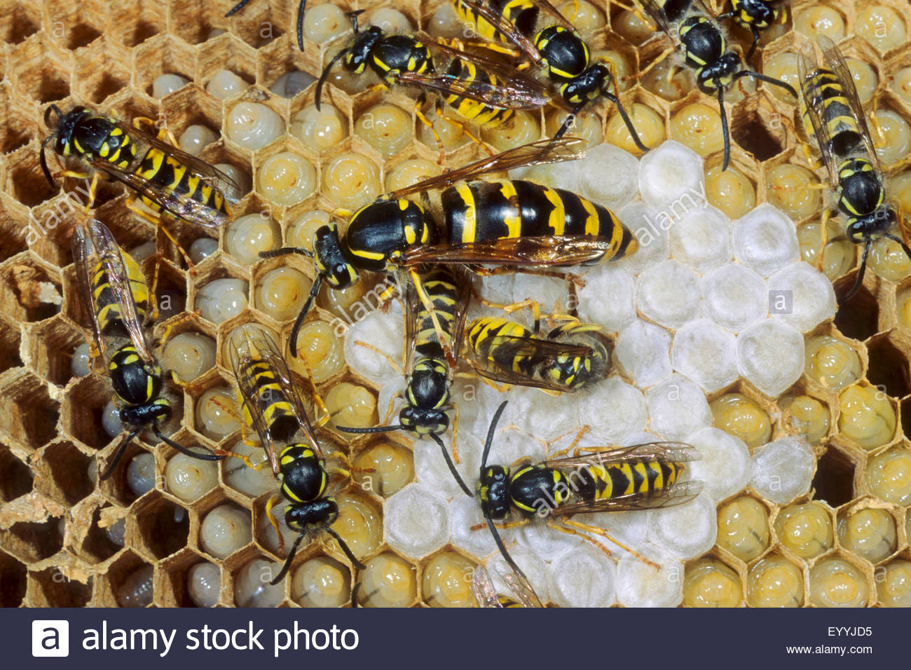 Queen Wasp Stock Photos & Queen Wasp Stock Images Alamy