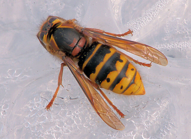 Queen Wasp Compared to Normal Wasp | Panther Pest Control