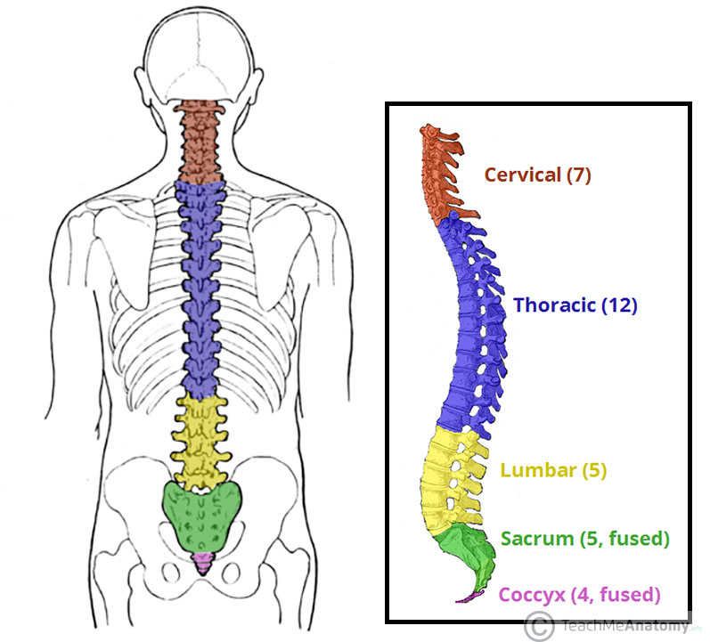 The Vertebral Column Joints Vertebrae Vertebral Structure